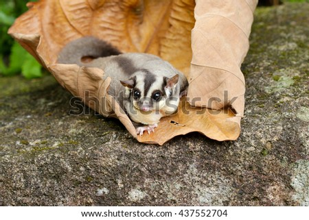Sugar glider on dry leave in forest.