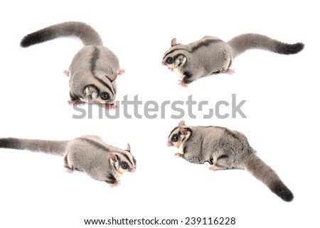 Sugar glider on white background - stock photo