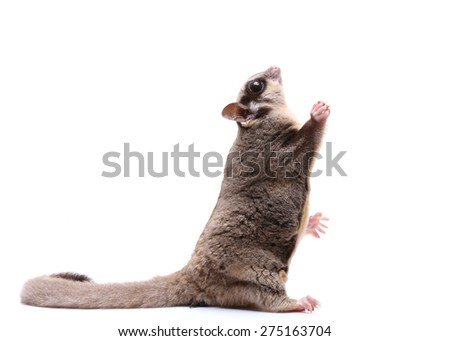 Sugar glider sit and looking up on white background - stock photo