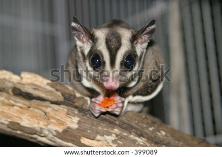 Sugar glider with dried papaya - stock photo