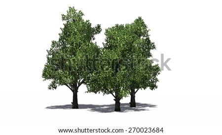 Sugar Maple cluster separate on white background