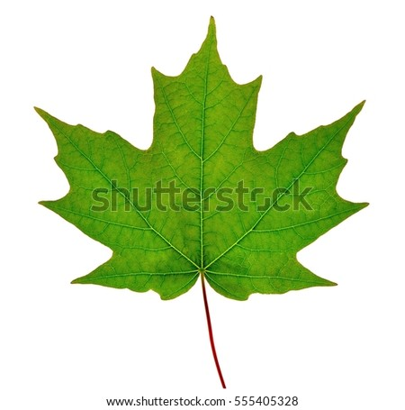 Sugar maple leaf (Acer saccharum) isolated on a white background.