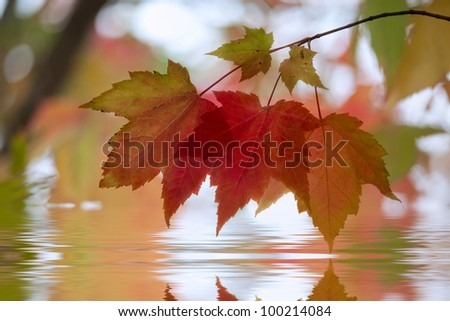 Sugar maple leaves in autumn with reflection - stock photo