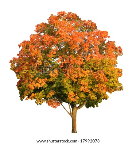 Sugar maple tree in the fall isolated on white, - stock photo