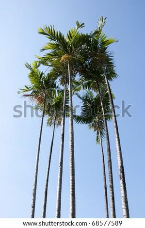 sugar palm - stock photo