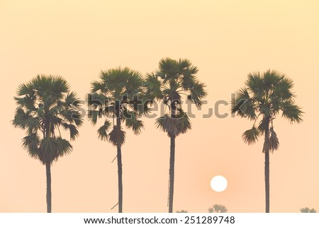 Sugar palm and rice filed at sunset