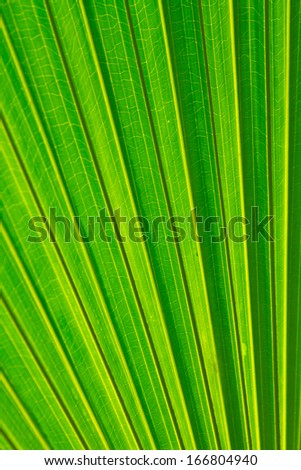 Sugar palm leaf, Texture of Green palm Leaf - stock photo