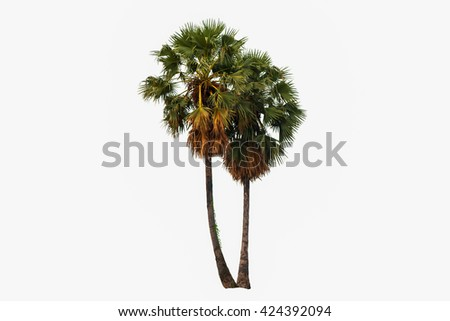 Sugar palm on the white background. - stock photo