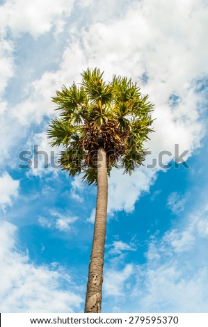 Sugar palm tree against a blue sky background. - stock photo