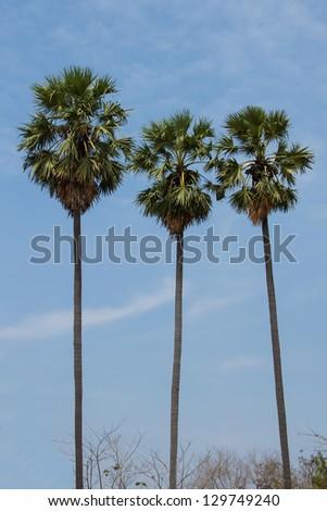 Sugar palm tree and blue sky - stock photo