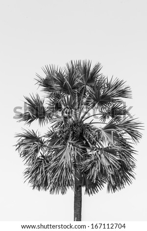 sugar palm tree in black and white - stock photo