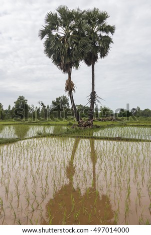 sugar palm tree in front of rice farm