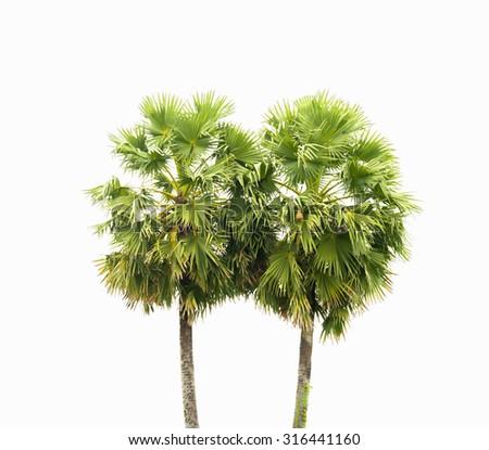 Sugar palm tree isolated on white - stock photo