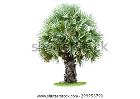 Sugar Palm tree isolated on white background. - stock photo