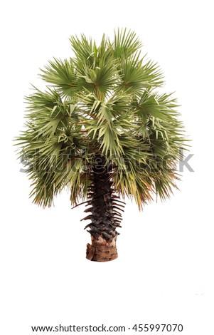 Sugar Palm tree isolated on white background. - stock photo