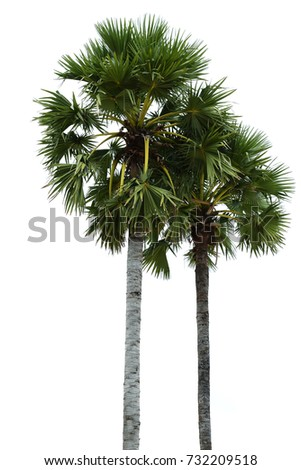 Sugar palm tree isolated on white background