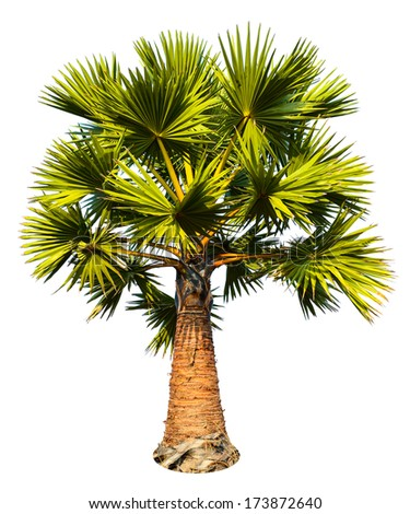 Sugar palm tree isolated on white background with clipping path