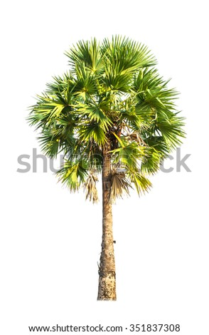 sugar palm tree on isolated background