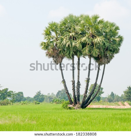 sugar palm trees surrounded with rice field - stock photo
