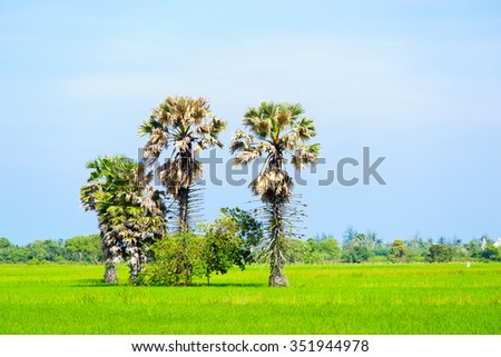 Sugar palm trees surrounded with rice field:select focus with shallow depth of field:ideal use for background. - stock photo