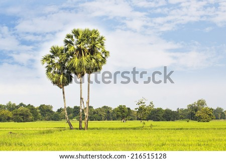 sugar palm with rice field  - stock photo