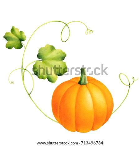 Squash vegetable drawing