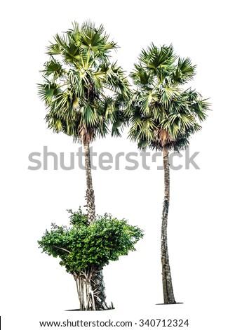 sugar plam tree isolated - stock photo