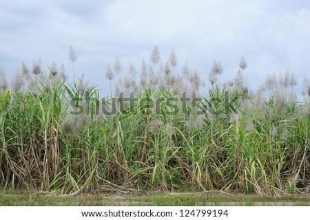 sugar - sugar cane - sugar cane trees - stock photo