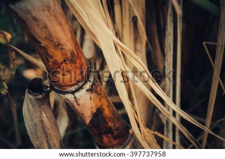 Sugarcane.Close up Sugarcane.fresh sugarcane in garden.sugarcane field.close up of Sugarcane for sugar.sugarcane stalks grow at field.sugarcane plants grow in field - stock photo