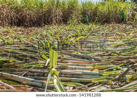 Sugarcane farmers are farmers who rely on the diligence of livelihood. A lot of sugar cane Enough to yield a living.