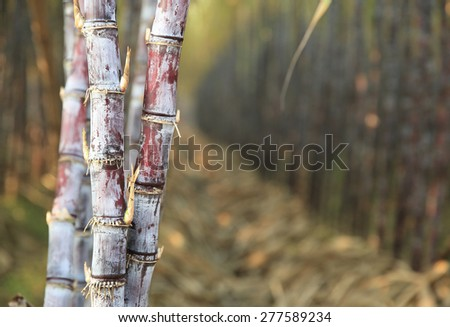 sugarcane field - stock photo