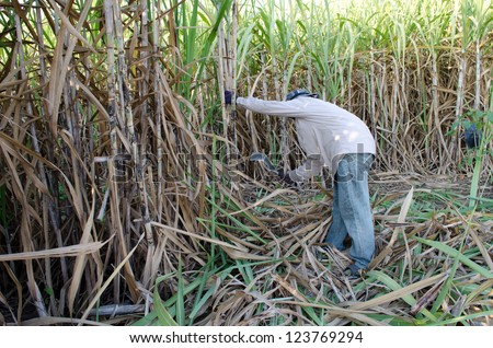 Sugarcane field and worker - stock photo