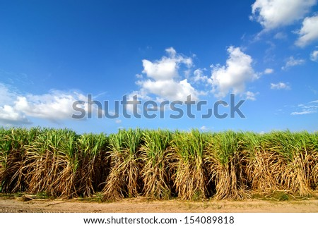 Sugarcane field in blue sky and white cloud in Thailand - stock photo