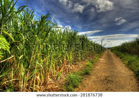 Sugarcane field in Okinawa,Japan - stock photo