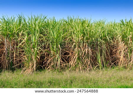 Sugarcane field in Thailand - stock photo