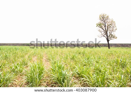 Sugarcane field isolate on white. - stock photo