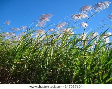 Sugarcane field, Queensland, Australia - stock photo