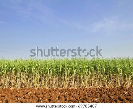 Sugarcane in Thailand - stock photo