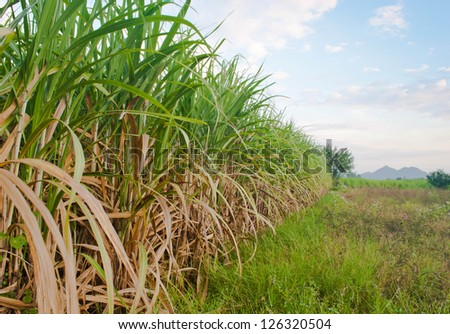 Sugarcane is grown and used extensively around the world - stock photo