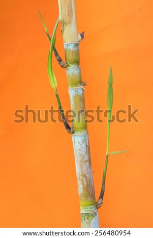 sugarcane plant grows in field - stock photo