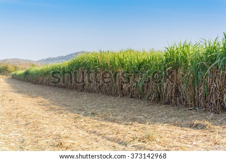 sugarcane plantation with blue sky  in Thailand