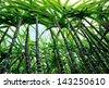 sugarcane plants - stock photo