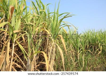 sugarcane plants grow in field  - stock photo