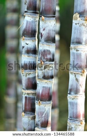 sugarcane stalks grow at field - stock photo