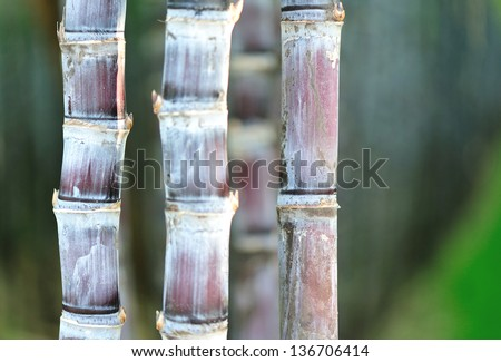 sugarcane stalks grow at field - stock photo