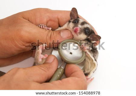 sugarglider getting checkup  by veterinary with stethoscope