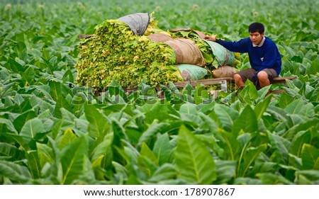 Suhkothai - February 16 : Unidentified worker is sitting guarding  harvested tobacco leaves in  tobacco field  on  February 16,2014 in Sukhothai Thailand