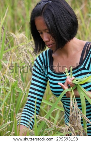 SULAWESI, INDONESIA - JULY 3 2012: Farmer manually pick up rice in a field in Indonesia