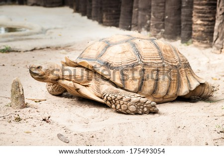 Sulcata Tertoise (Geochelone Sulcata), the third largest tertoise species in the world - stock photo