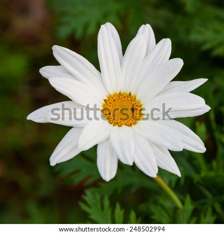 Sulfur Cosmos ,White Cosmos,Thailand Cosmos Flower, Cosmos Flower Blossom - stock photo